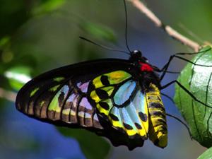 Richmond Birdwing Butterflies