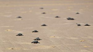 Keep It Natural - Walk for the Turtles
